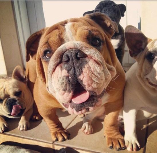 Close up de perro bulldog inglés