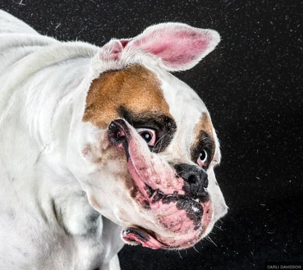 Perro bulldog inglés moviendo la cabeza fotografía
