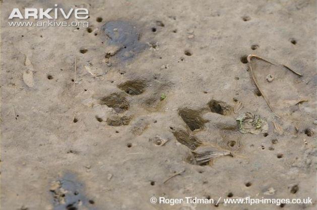 Common-otter-footprints