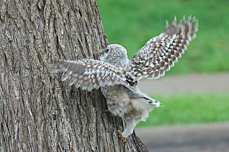 2015 4 April 6 Baby Owl at Home
