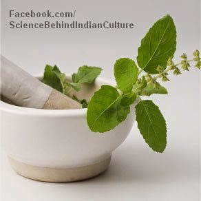 Tulsi the sacred plant is worshipped and herb rich - indian culture, traditions reasons, science