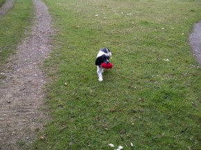 Trevor, the Springer puppy picks up his Partridge dummy! Sent in by Debbie