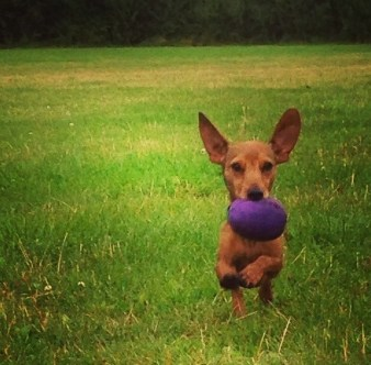 Hugo the dachshund retrieving his woodcock dummy! Sent in by Adam