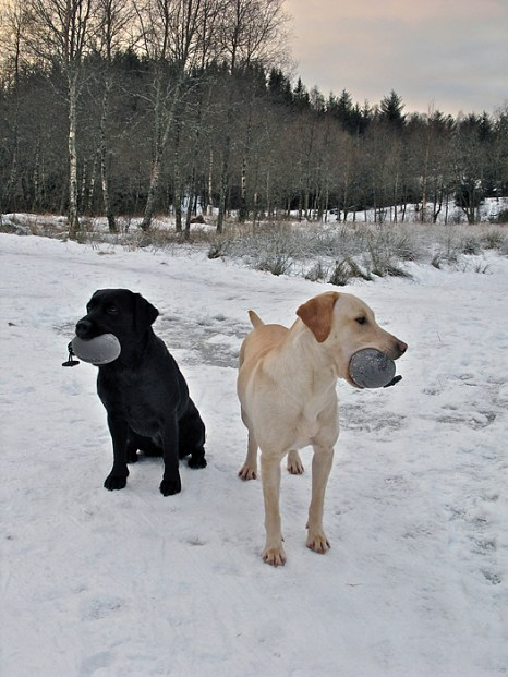 Two lovely labs training in the snow Sent in by Asbjorn