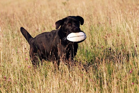 Perfect retrieve of a WDC Easy Mark Pheasant Dummy Sent in by Sharon, Woodmist Labradors