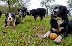 Border collie sheepdogs at play
