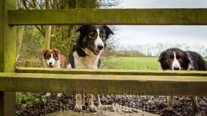 Border collie sheepdogs queueing for the stile