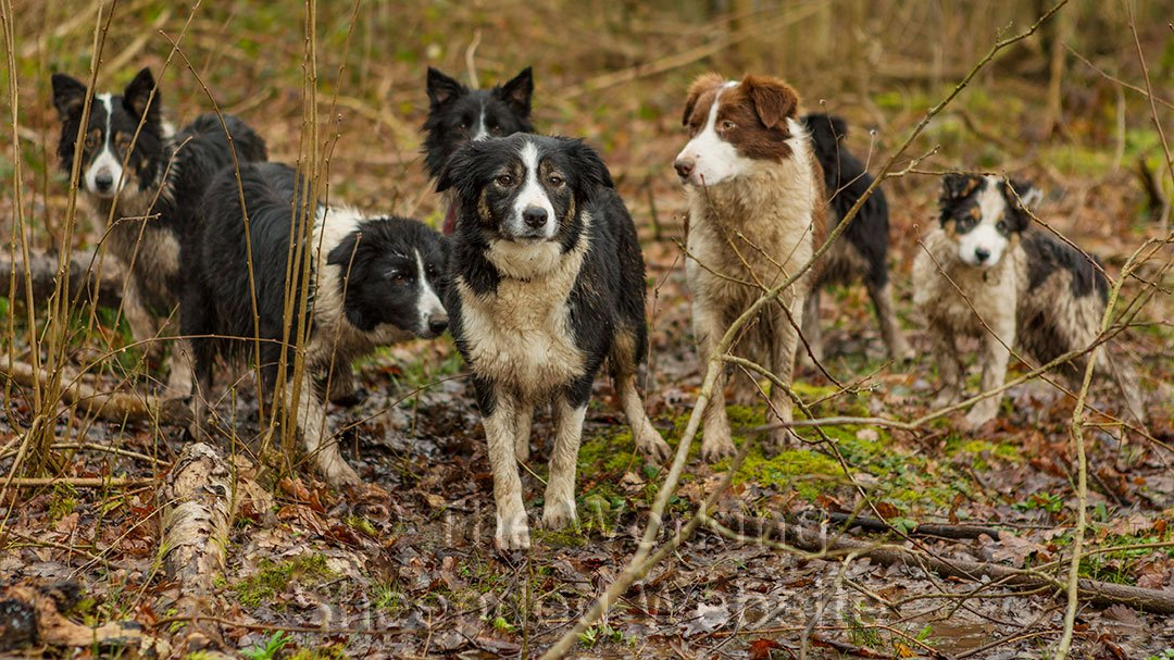 A small pack of female border collie sheepdogs