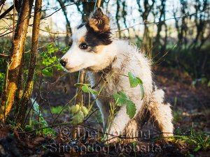 Tricolour border collie puppy running through woodland