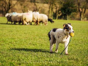 Puppy Jack has picked up a toy and is heading away from the sheep
