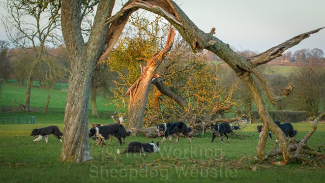 Sheepdogs and storm-damaged apple trees in a Worcestershire orchard