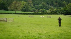 sheep coming through the fetch gates at a sheepdog trial
