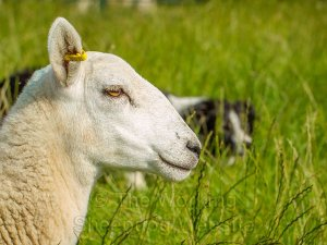 Close up of a sheep's head in the foreground with a sheepdog in the long grass behind it.