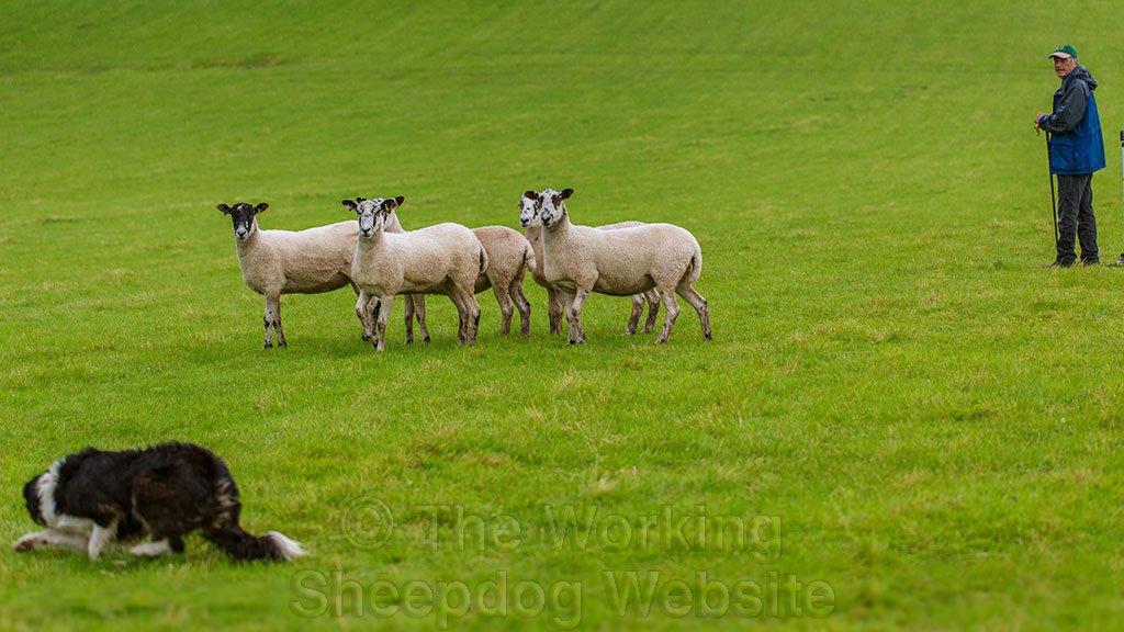 In pouring rain and with thunder crashing, Carew keeps perfect control of her sheep.