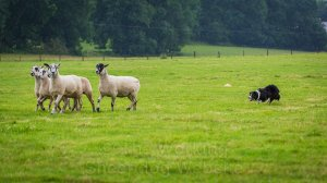 Sheepdog Carew quietly brings her sheep to the pen at a trial