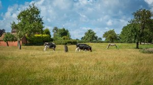 Cattle grazing in our sheepdog training field