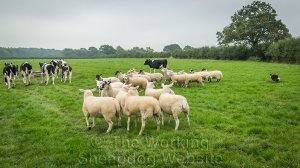 Sheepdog Carew working hard to separate sheep from cattle