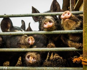 Several grubby pigs peering through their pen bars.