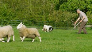 partly trained sheepdog for sale