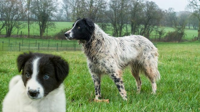 Most border collies are predominantly black with white blaze, collar, and tail tip but Isla is mostly white.