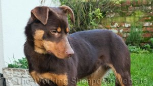 Young Kelpie sheep and cattle dog, Will