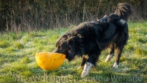 As well as being a strong sheepdog Ezra likes to play - often with large toys