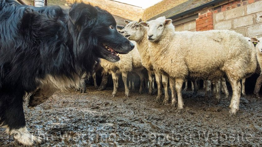 Ezra did really well on his debut at working in a pen of sheep