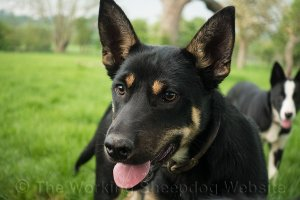 Tucker is a very handsome black and tan Kelpie puppy
