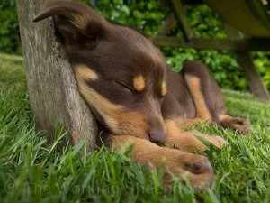 Molly the kelpie pup asleep under the picnic table in our garden