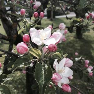 Apfelbaumblüte im Frühling