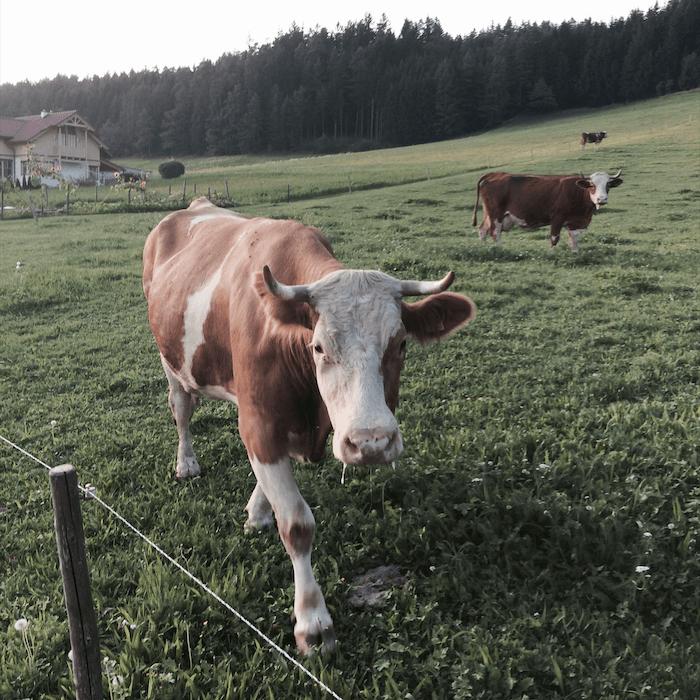 Kühe am Bauernhof