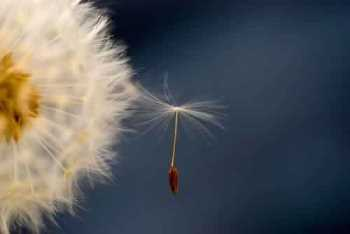 seeds in wind