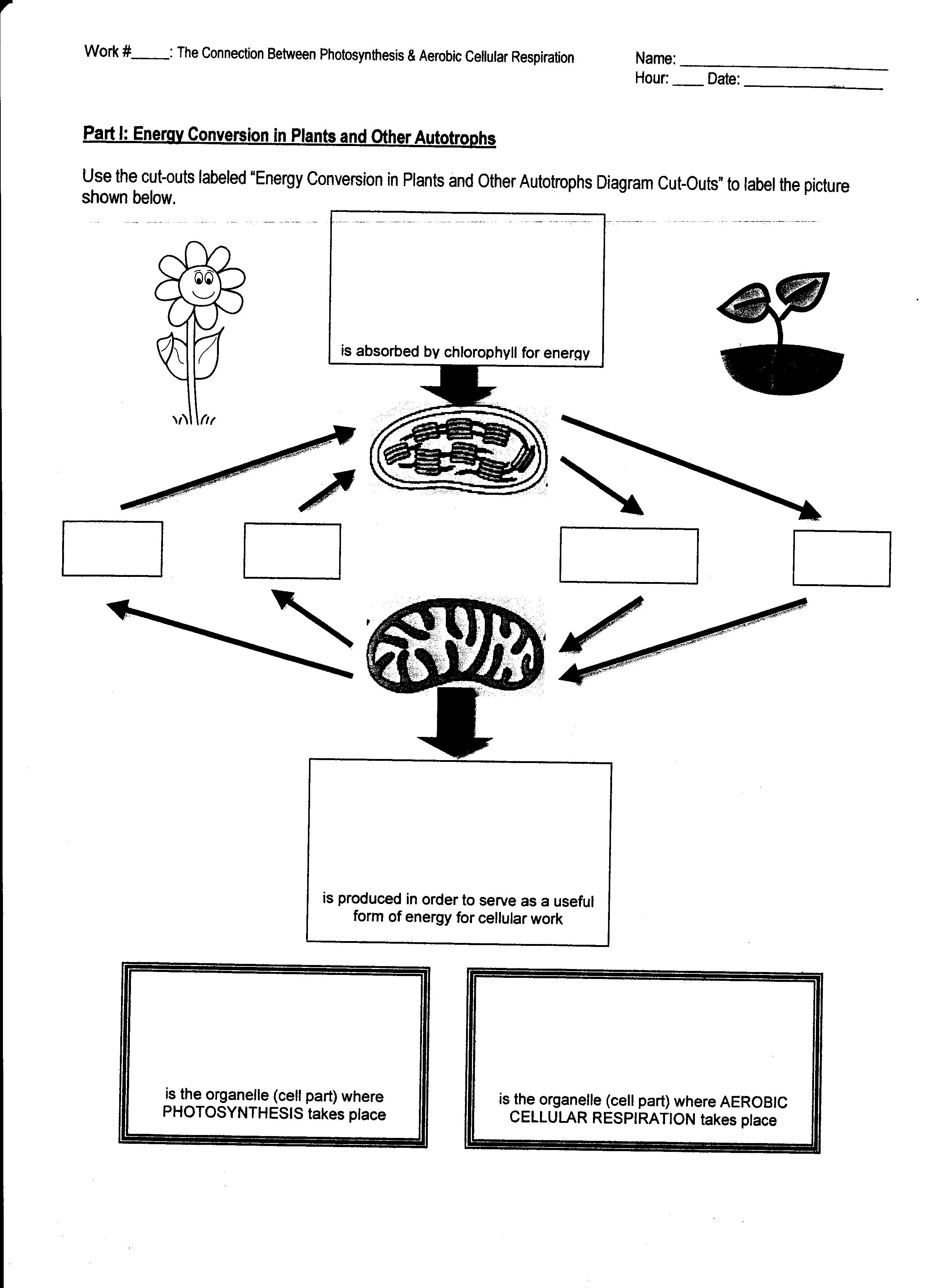 Photosynthesis Cellular Respiration Worksheet