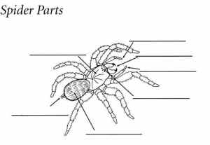 11 Best Images of Spider Life Cycle Worksheet  Black Widow Spider Life Cycle, Acrostic Spider