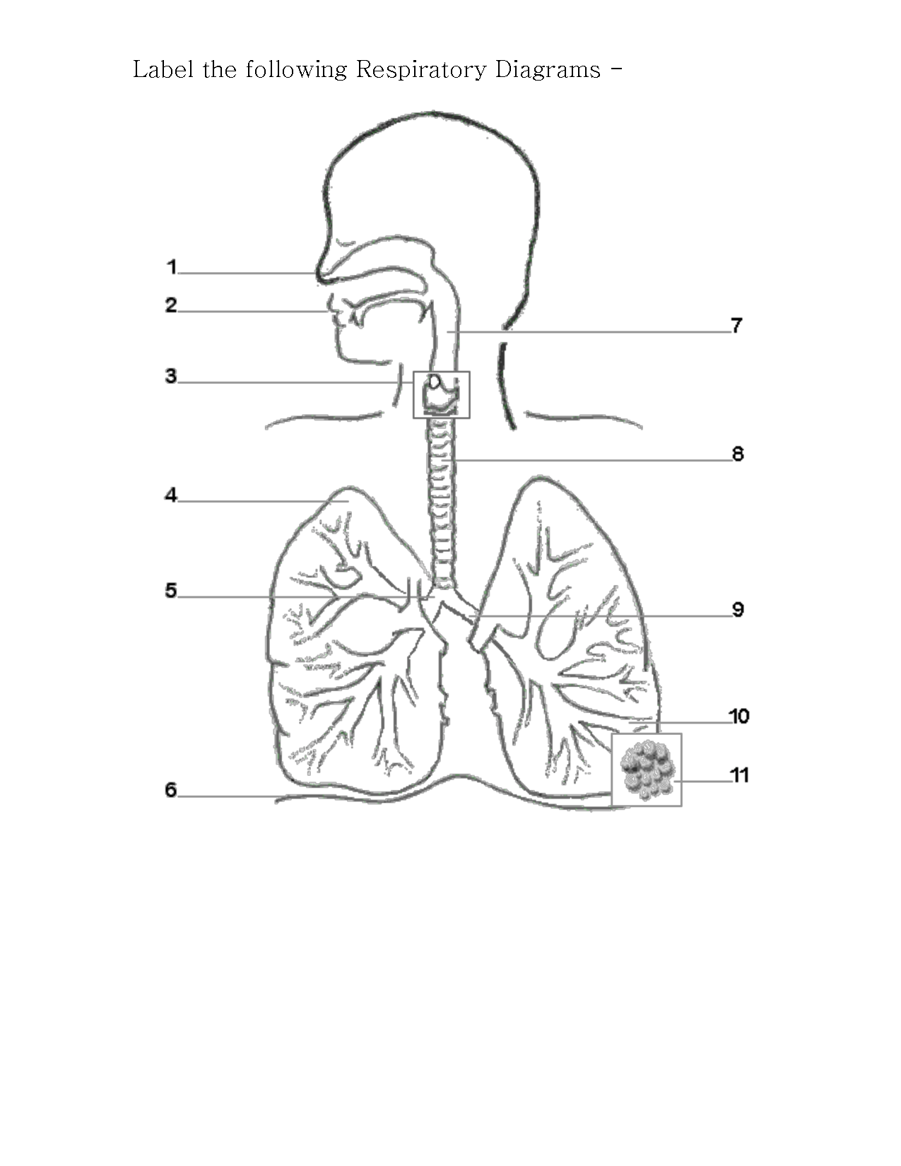 12 Best Images Of Respiratory System Worksheet Answer Key