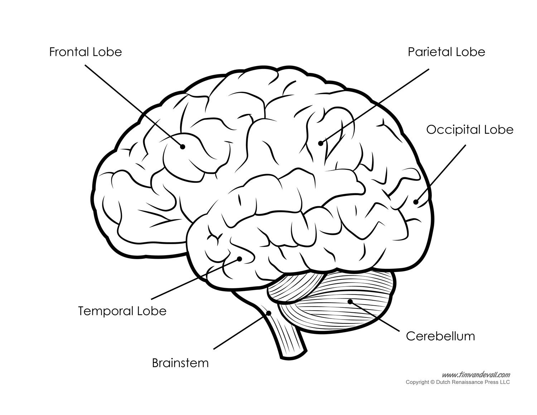 9 Best Images Of Brain Label Worksheet