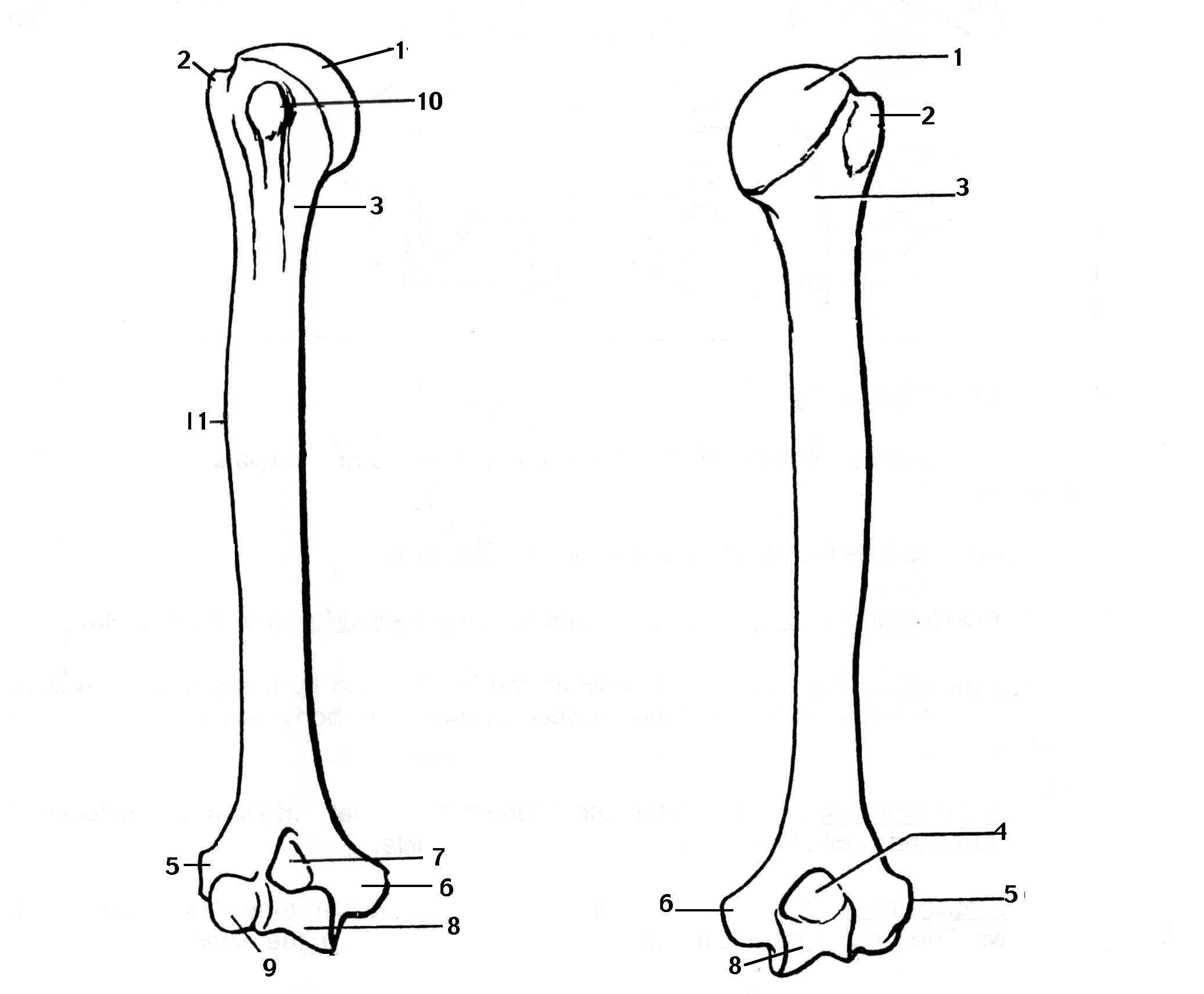 Humerus Bone Page Coloring Pages
