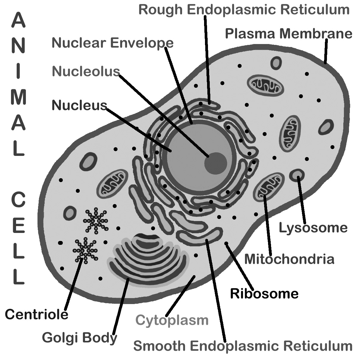 7 Best Images Of Animal Cell Diagram Worksheet