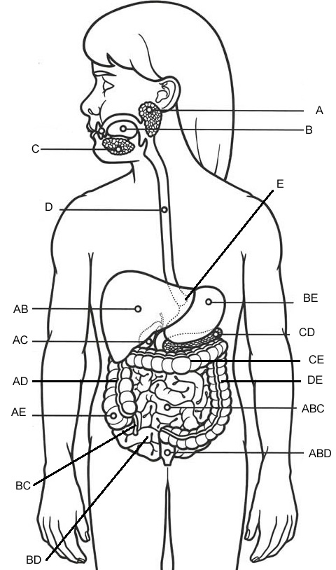 Unlabeled Male Reproductive System Worksheet