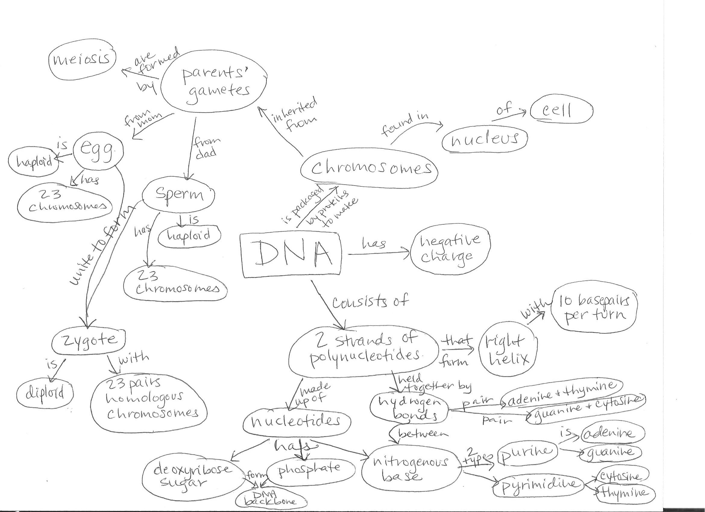 Unit 12 Dna Worksheet Structure Of Dna And Replication
