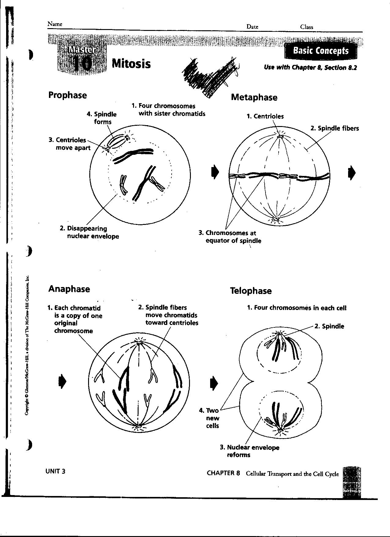 13 Best Images Of Identify Stages Of Mitosis Worksheet