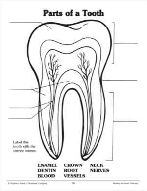 10 Best Images of Parts Of The Tooth Worksheet  Tooth