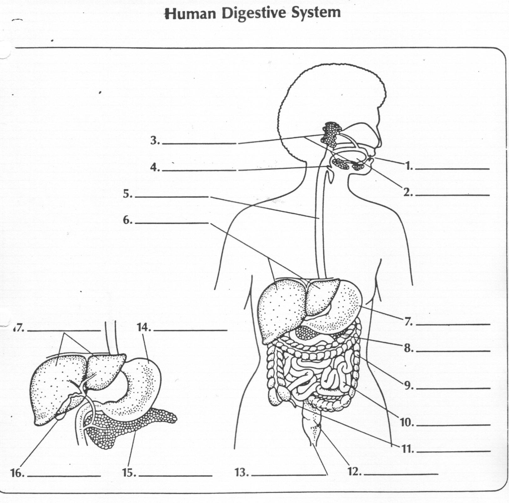 7 Best Images Of Enzyme Worksheet Answers