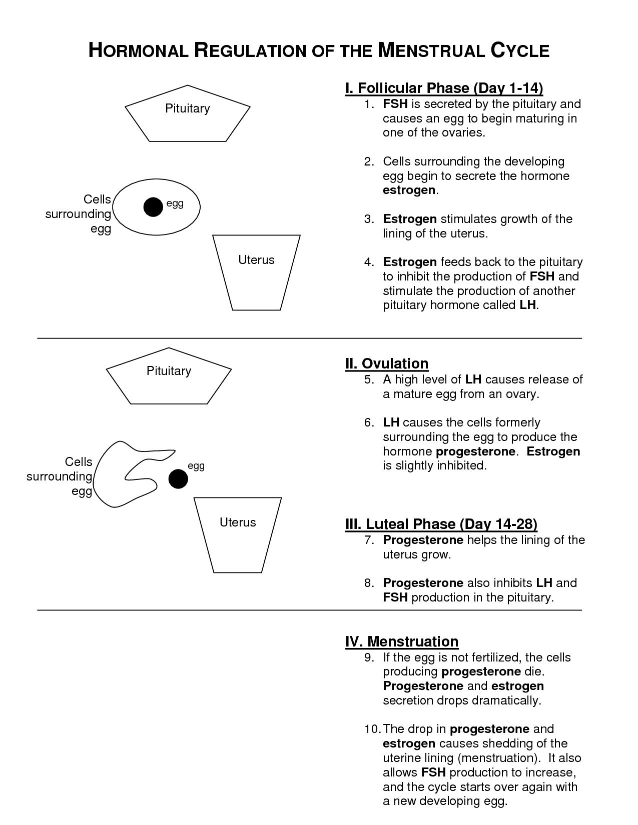Menstrual Cycle Worksheet Images