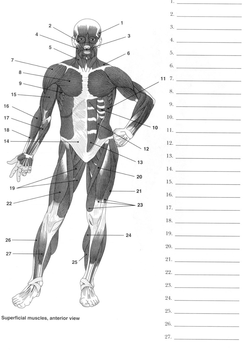 best images of human muscle worksheets  label muscles
