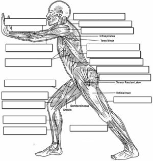 14 Best Images of Muscle Labeling Worksheet High School  Muscular System Diagram Worksheet