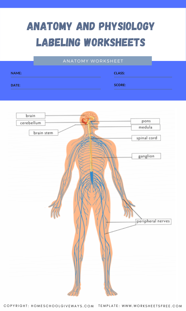 anatomy and physiology labeling worksheets 5