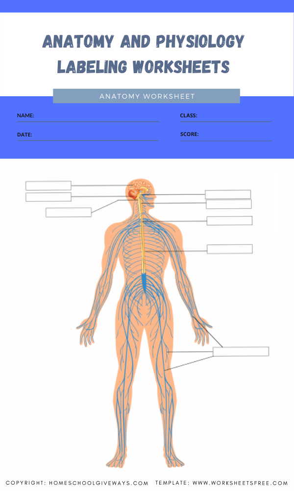 anatomy and physiology labeling worksheets 6