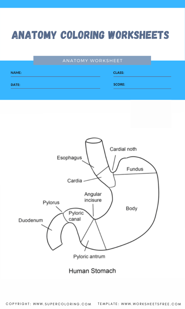 anatomy coloring worksheets 4