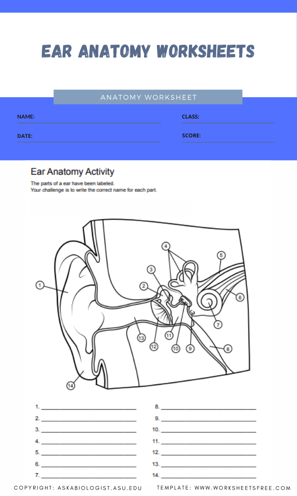 ear anatomy worksheets 1